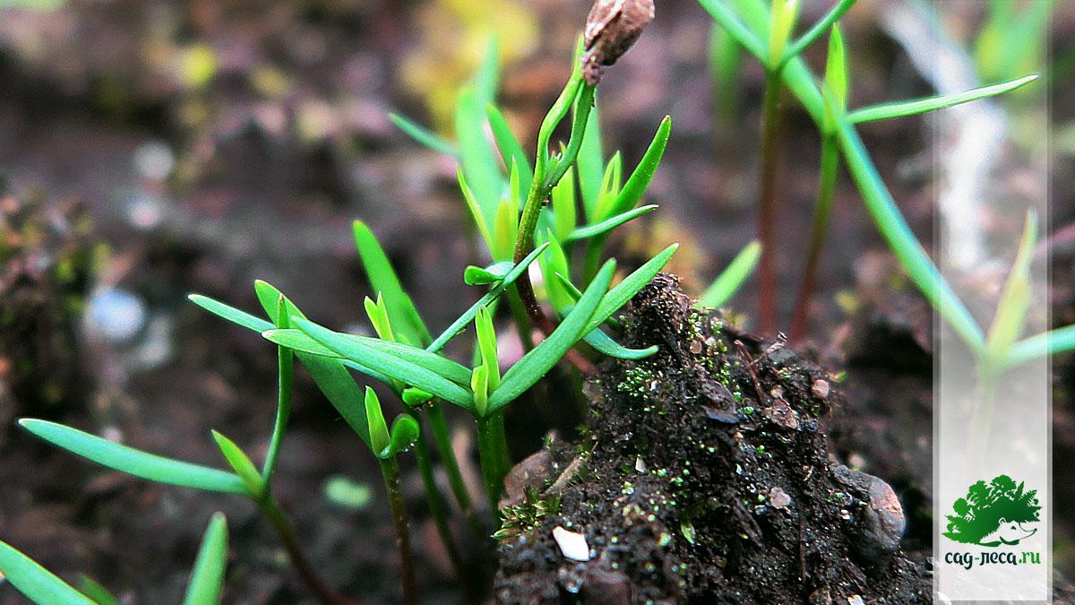 ПК148 Всходы можжевельника сибирского из семян
