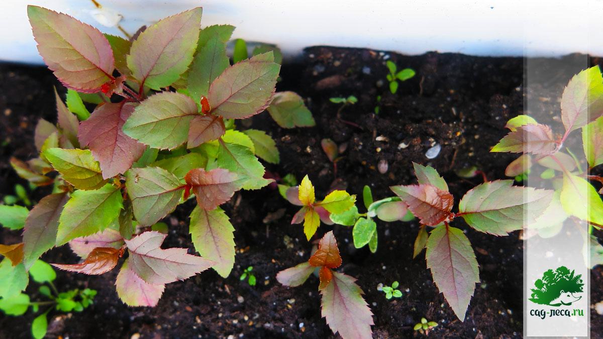ПК557 Всходы яблони Роялти из семян