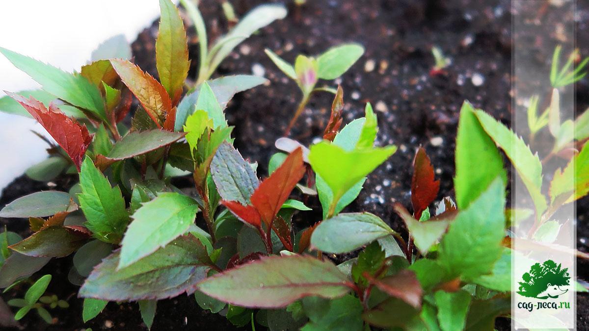 ПК492 Всходы яблони Недзвецкого из семян