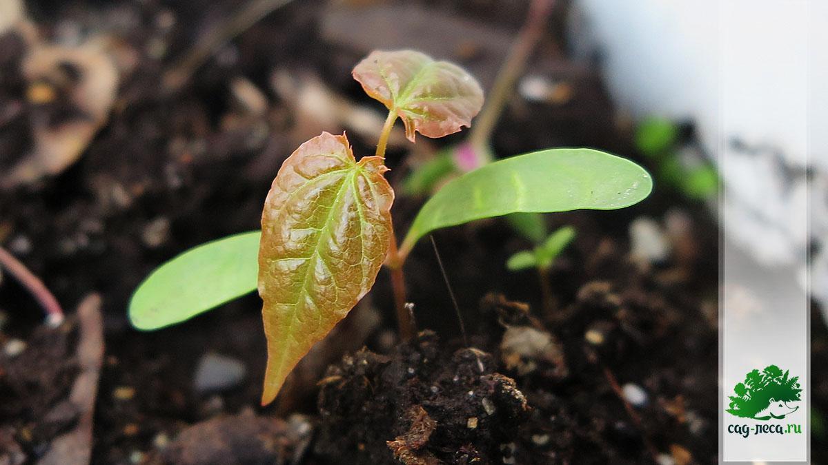 ПК497 Всходы клёна мелколистного из семян