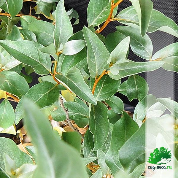 ПК80 Лох серебристый - листья