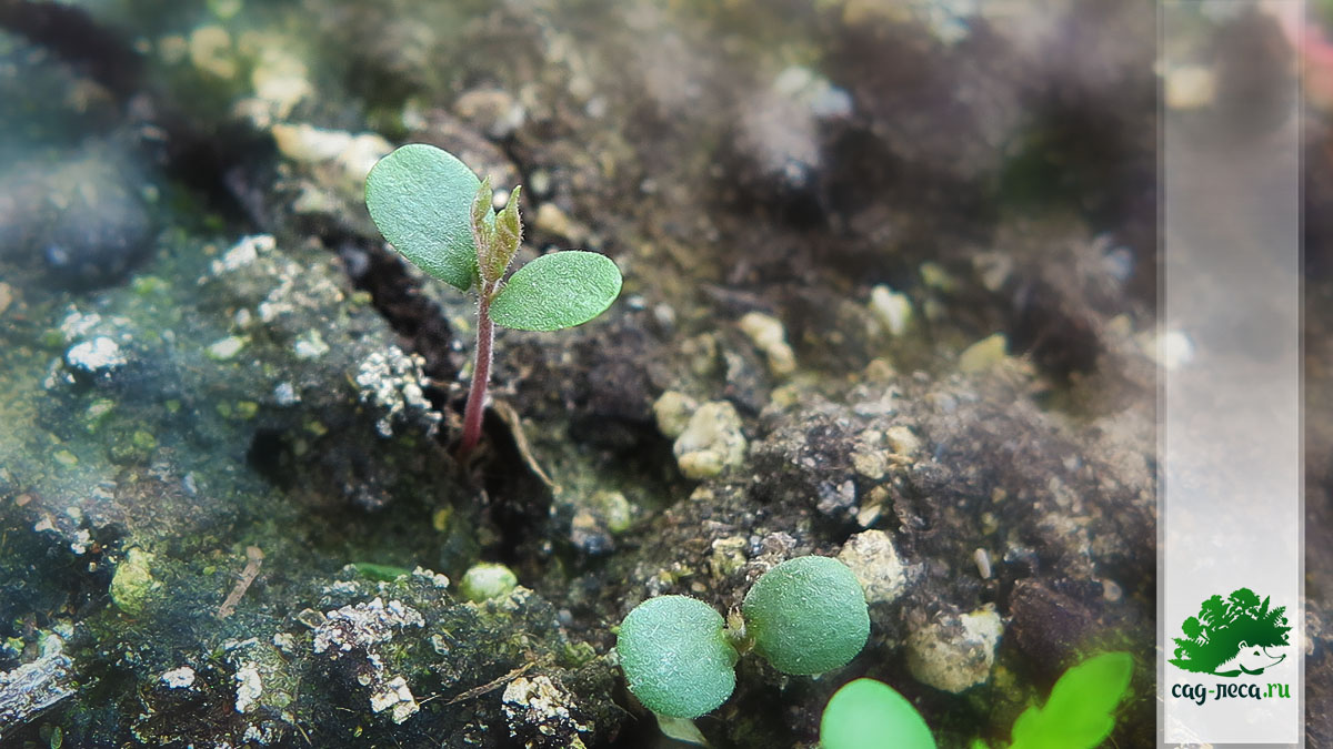 ПК673 Всходы вяза долинного из семян