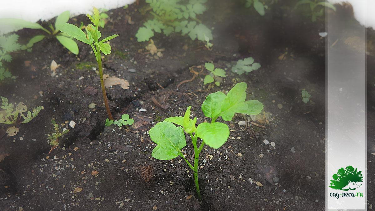 ПК435 Орех маньчжурский - всходы местных семян