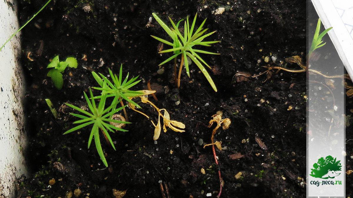 ПК527 Всходы можжевельника скального Juniperus scopulorum из семян