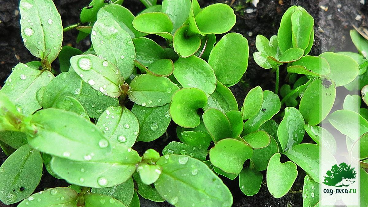 ПК573 Всходы клематиса короткохвостого из семян