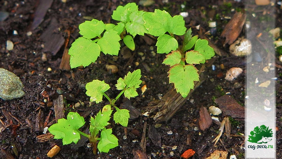ПК172 Всходы аралии маньчжурской из семян