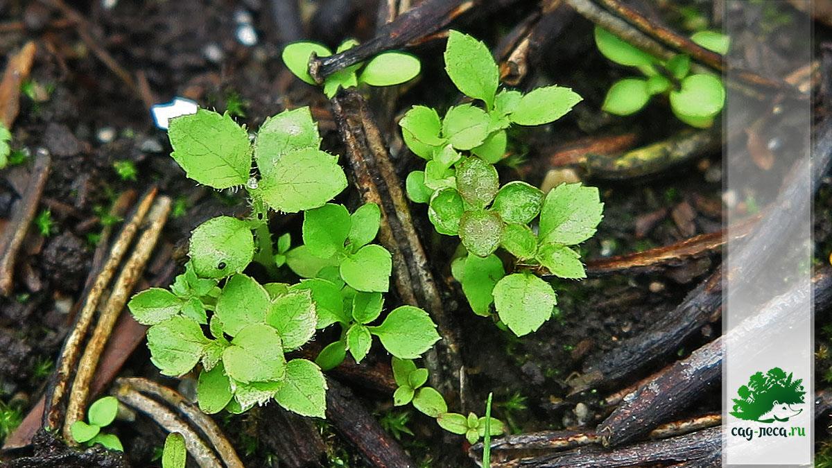 ПК343 Всходы вейгелы корейской из семян