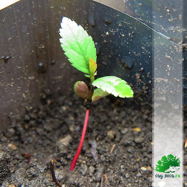ПК537 Всходы боярышника Дугласа из семян