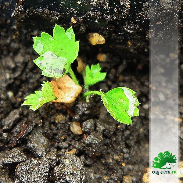 ПК530 Всходы смородины восковой из семян