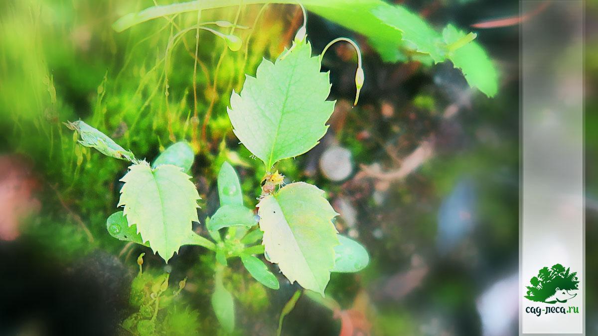 ирга древовидная размножение семенами