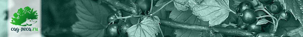 Выращивание смородины из семян