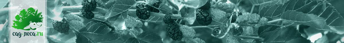 Шелковица из семян