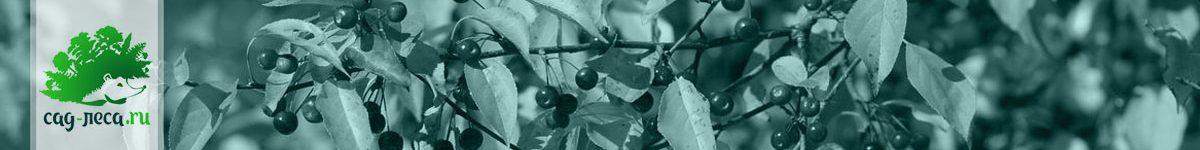 Выращивание яблонь «из семечка»