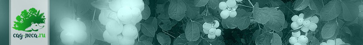 Снежноягодник из семян