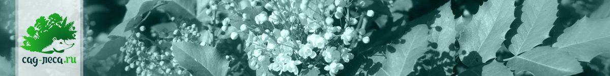 Магония из семян