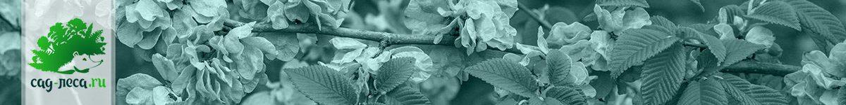 Выращивание вязов из семян