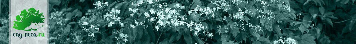 Клематисы и ломоносы из семян