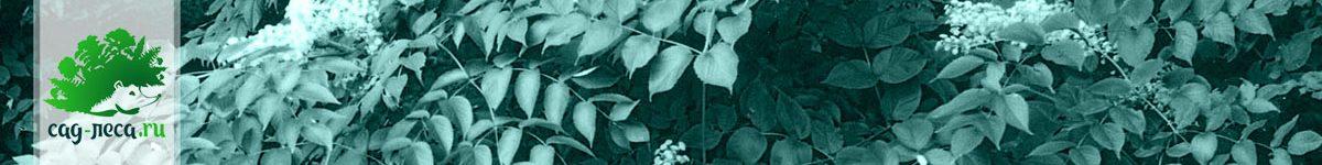 Аралия из семян