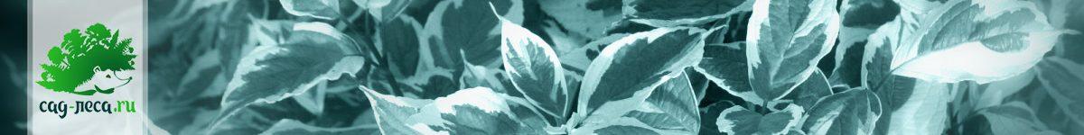 Дерен (свидина) из семян