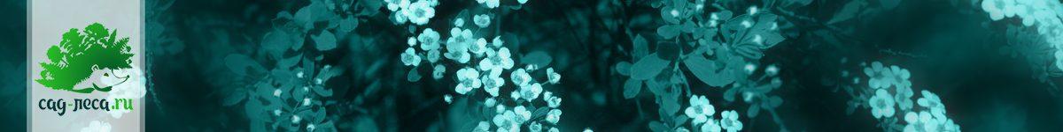 Как вырастить спиреи из семян