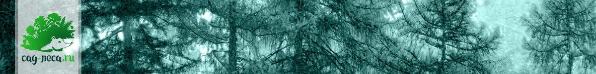 Лиственницы из семян