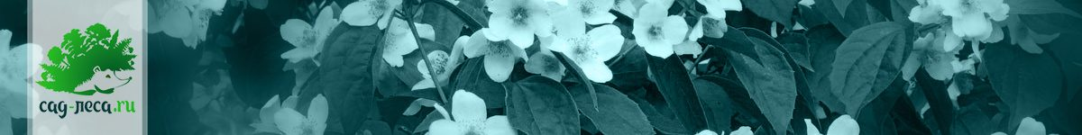 Чубушники из семян