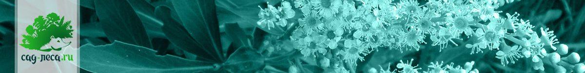 Сибирка из семян