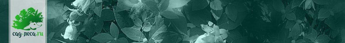Кодонопсис из семян