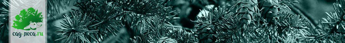 Псевдотсуга из семян