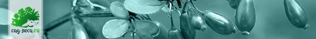 Выращивание барбарисов из семян