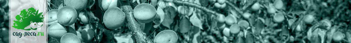 Выращивание абрикосов из косточек