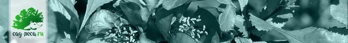 Айва (хеномелес) из семян