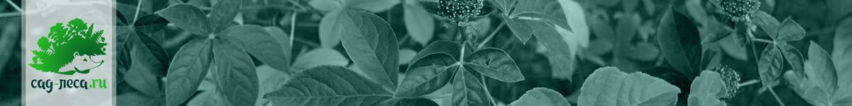 Свободноягодники (элеутерококки) — выращивание из семян