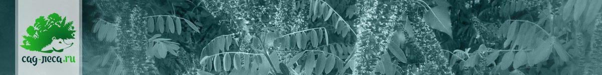 Выращивание аморфы из семян