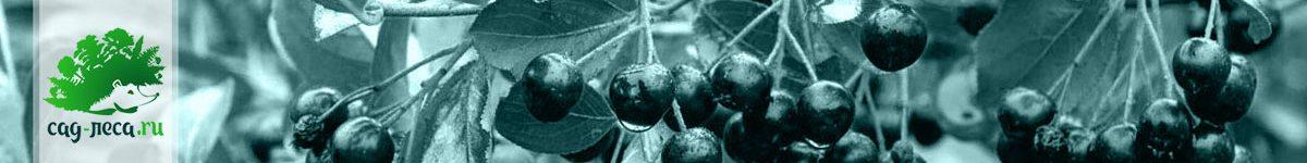 Арония из семян