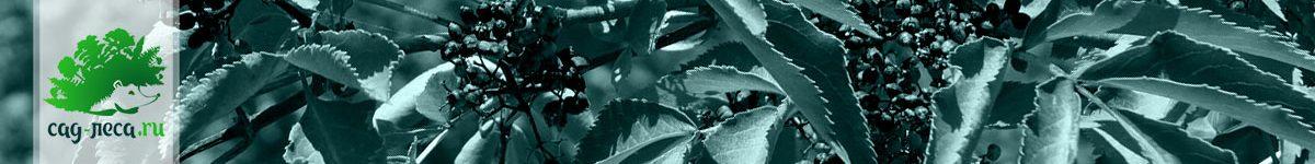 Выращивание бузины из семян