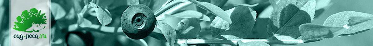 Болотные ягоды (Vaccinium) из семян
