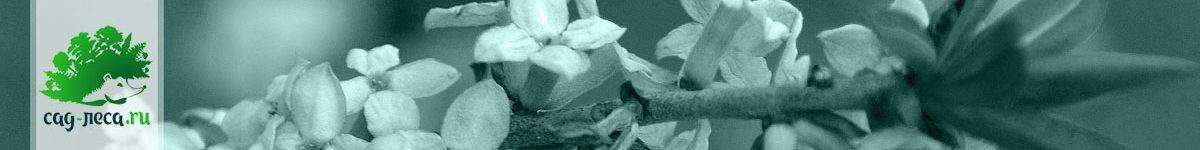 Волчеягодник, волчник, дафна… выращивание из семян