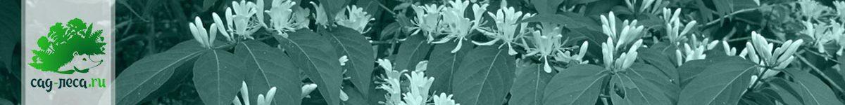 Жимолость из семян