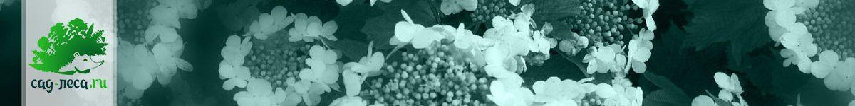 Выращивание калины из семян