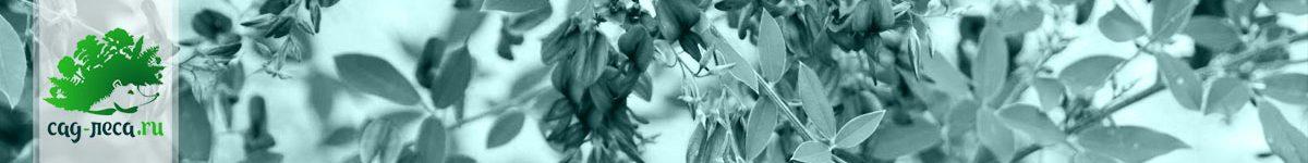 Леспедеца из семян
