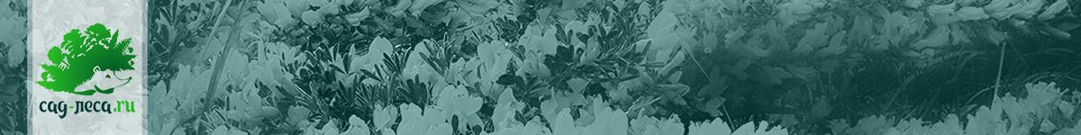 Ракитничек, ракитник, хамаецитизус — выращивание из семян
